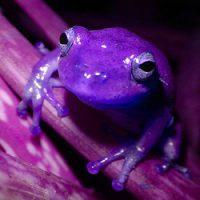 Purple Froggy Boy