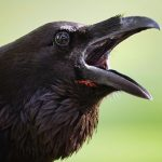 Crazy Cawing Crow Animated Prop