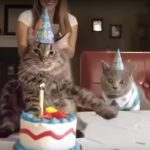 Crazed Cat Is Displeased With His Birthday Cake!